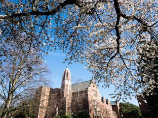 Cherry trees blossoming at university campus - Seattle, WA, USA