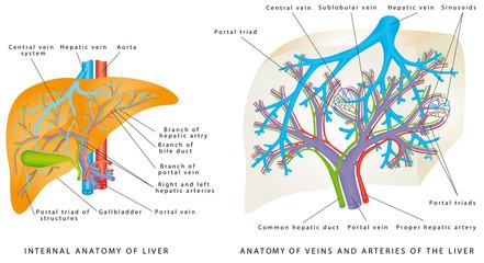 Liver Circulatory System.