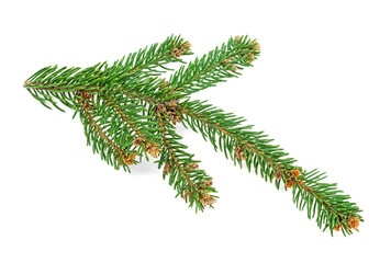 Twig of Christmas tree isolated on white background