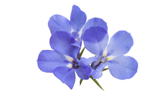 Lobelia blue isolated