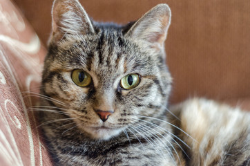 gray domestic cat posing