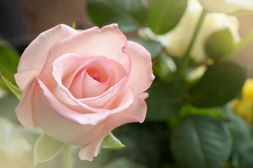 close up of pink rose for background