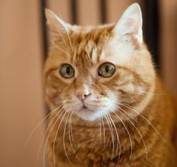 Lovely red cat. Soft focus on eyes.