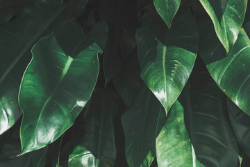 Tropical leaves texture background, dark green.