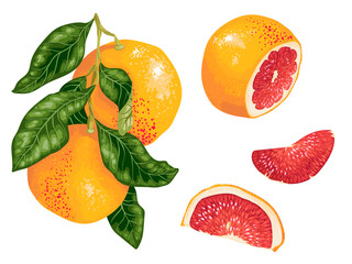Grapefruit set with fruits on the branch and slices in realistic vector