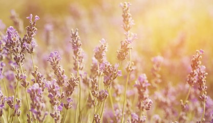 Beautiful violet lavender field