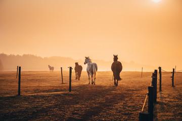 Horses on orange autumn morning pasture