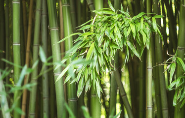 Fotobehang Bamboo Bamboo leaves lit by the sun on the background of a bamboo grove