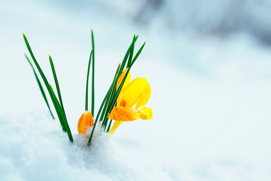 clear beautiful flower-snowdrop yellow Crocus makes its way from under the white snow in early spring in the garden