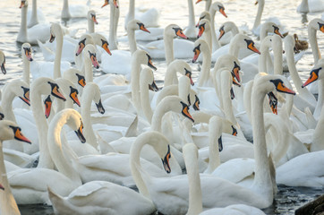 Lot of swans in the water