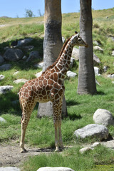 Giraffe Shown in Full with Beautiful Pattern Highlighted