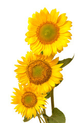 Three sunflowers isolated on white background. Flower bouquet. The seeds and oil. Flat lay, top view