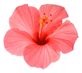 Pink hibiscus flower isolated on white background. Flat lay, top view. Macro, object