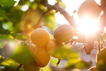 Apricot on a brech with sun flares