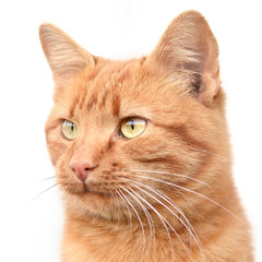 Smart young ginger cat on a white background.