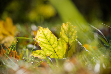 Autumn leaf against a green background glows in the sun