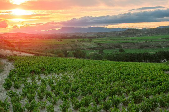 La Rioja. Spain. Vineyard at sunset.