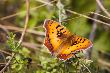 Orange African Wild Butterfly (junonia sp.) Sitting On A Branch In Lush Green Forest