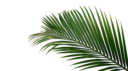 Acrylic Prints Palm tree Green leaves of nipa palm or mangrove palm (Nypa fruticans) tropical evergreen plant isolated on white background, clipping path included.