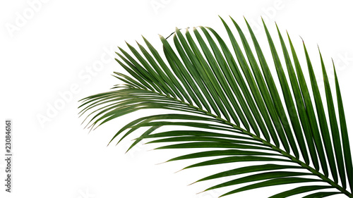 Wall mural Green leaves of nipa palm or mangrove palm (Nypa fruticans) tropical evergreen plant isolated on white background, clipping path included.
