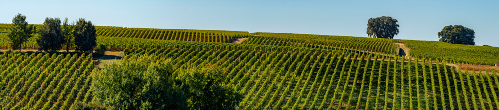 Vineyards of Saint Emilion, Bordeaux Vineyards, terraced vineyard