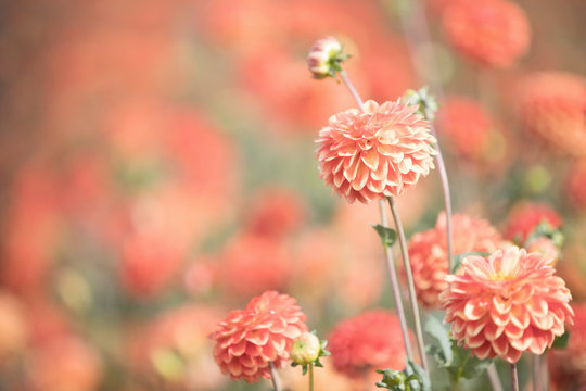Photograph of apricot colored Dahlias in a field