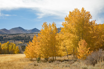 Autumn themed photograph of golden Aspen and Cottonwood trees near the mountains