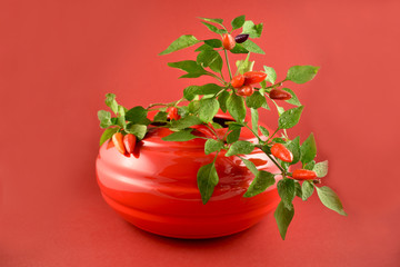 Chili pepper plant in a pot stock images. Red peppers on a red background. Red flower pot with pepper