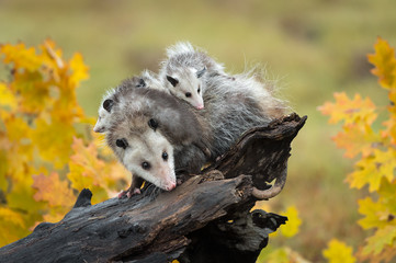 Fotomurales - Opossum (Didelphimorphia) With Joeys On Log in Autumn