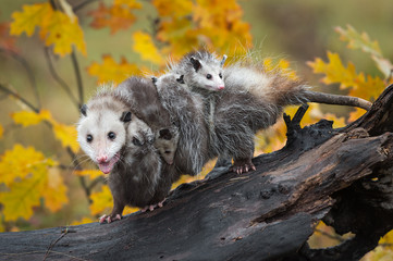 Wall Mural - Opossum (Didelphimorphia) Walks Left on Log with Load of Joeys and Open Mouth