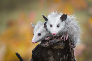 Fotomurales - Pair of Opossum Joeys (Didelphimorphia) Look Out From Log End