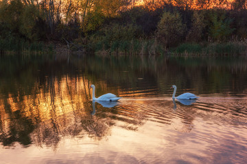 Beautiful white swans in the lake in sunset light, wild birds background