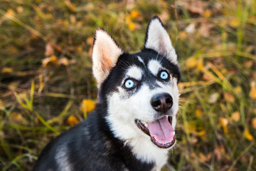 Portrait of a Husky dog on a background of autumnal nature.