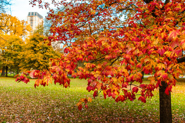 Branch of Colorful Leaves during Autumn in Lincoln Park Chicago