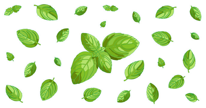 Basil concept horizontal background with isolated green leaves. Vegetarian and vegan raw food ingredient