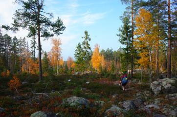 Nature of Sweden, Man hiking Bruksleden trail in autumn forest