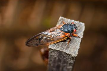 Cicada on a Post