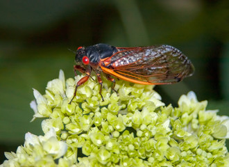 Cicada on Hydrangea