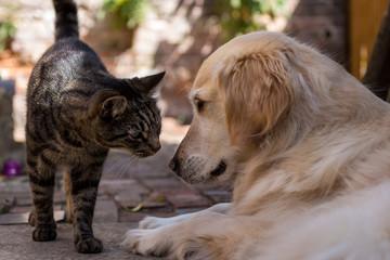 Tabby Cat Meets Golden Retriever