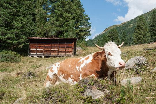 Bienenhaus und Kuh im Defereggental