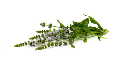 Close-up of fresh blooming mint isolated on white background.