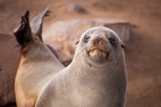 Sea Lions (Seals, Otariinae) with pups at the beach near Cape Cross, Skeleton Coast, Namibia, Africa