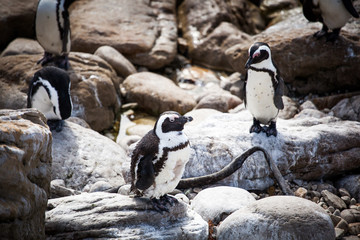 Cute little African penguins (Spheniscus demersus) resting on rocks on the beach. Betty's bay, South Africa