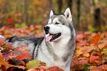 Alaskan malamute dog outdoors