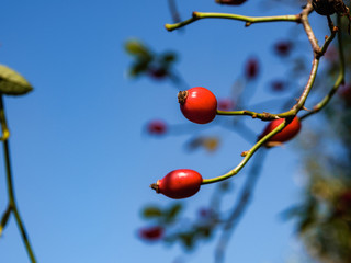 Red mouths, the autumn fruit of the dog rose