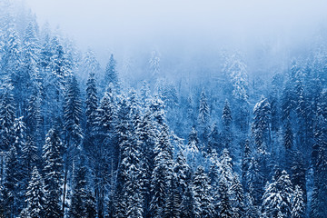 mystical forest in the mountains covered with snow and fog on to