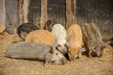 Young pigs of the Hungarian Mangalci and Duroc breed on their paddock. The concept of small farms.