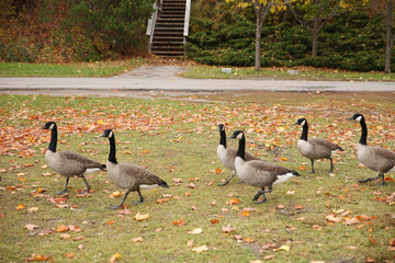 family of canadian geese on grass