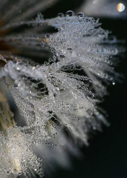 Macro of dew on a dandelion
