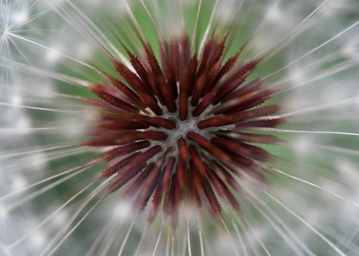Super macro of a dandelion head